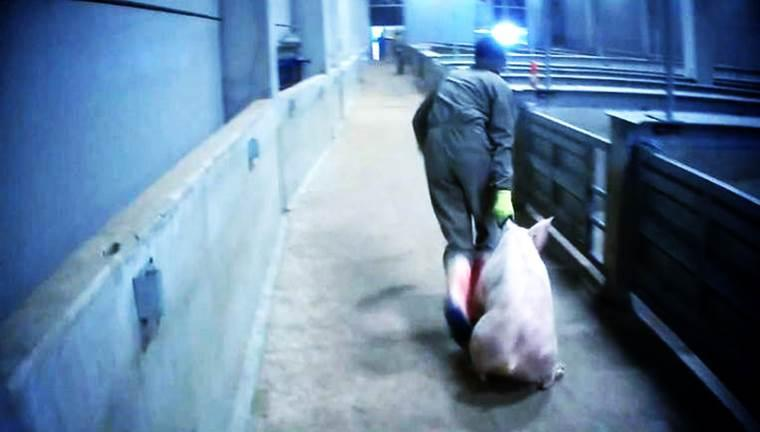 dierenmishandeling slachthuis Tielt (© Animal Rights | dwars)